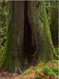 douglas-fir-tree.jpg