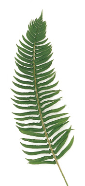 swordfern.jpeg